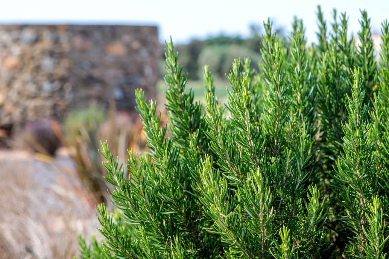 planta natural romero